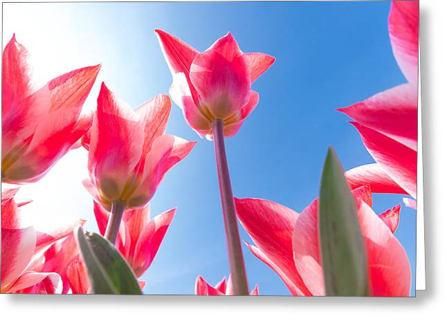 Spring Bulbs Greeting Cards - Pink Tulips Greeting Card by Hans Engbers