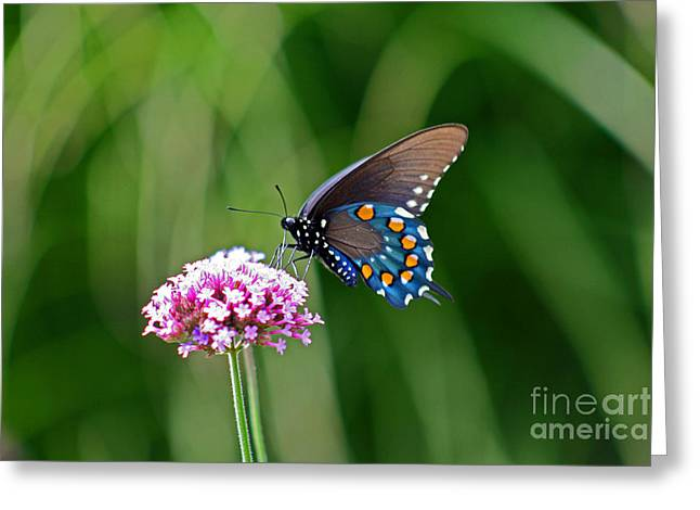 Pipevine Swallowtail Butterfly Greeting Card by Karen Adams