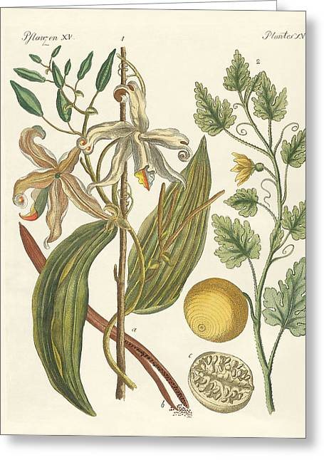 Spice Drawings Greeting Cards - Plants from hot countries Greeting Card by Splendid Art Prints