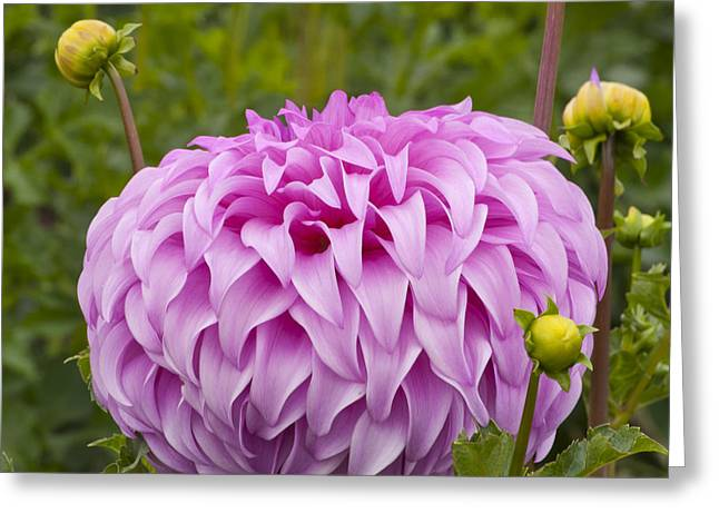 Garden Greeting Cards - Purple Dahlia Greeting Card by Mandy Judson