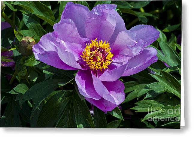 Purple Greeting Cards - Purple Peony Greeting Card by Mandy Judson