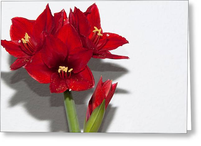 Spring Bulbs Greeting Cards - Red amaryllis Greeting Card by Frank Gaertner