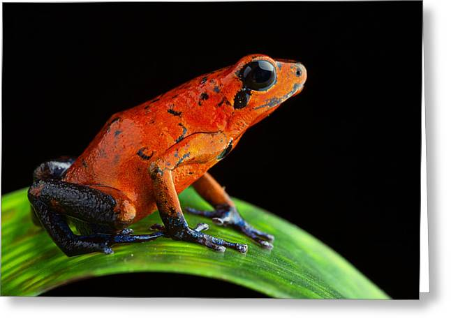 Costa Greeting Cards - Red Poison Dart Frog Greeting Card by Dirk Ercken