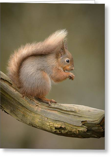Bushy Tail Greeting Cards - Red Squirrel Greeting Card by Andy Astbury