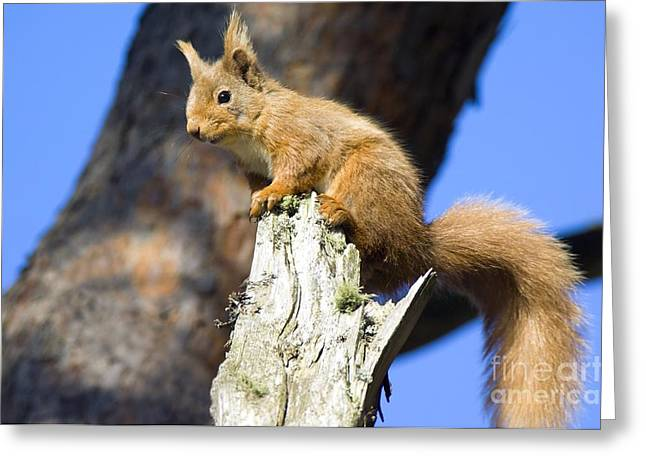 Sciurus Greeting Cards - Red Squirrel Greeting Card by Duncan Shaw