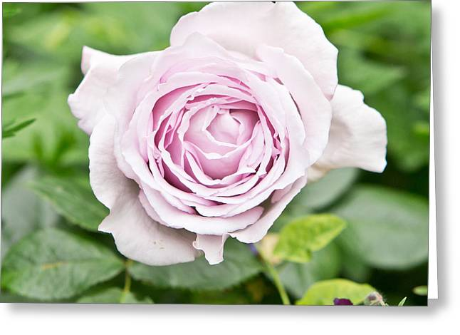 Purple Roses Greeting Cards - Rose Greeting Card by Tom Gowanlock