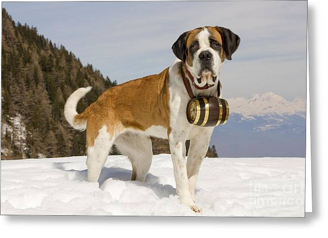 Saint Bernard Greeting Card by Jean-Michel Labat