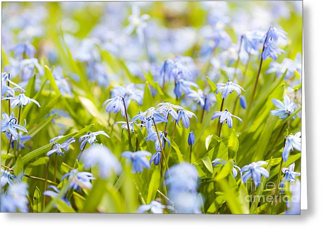 March Greeting Cards - Spring blue flowers Greeting Card by Elena Elisseeva