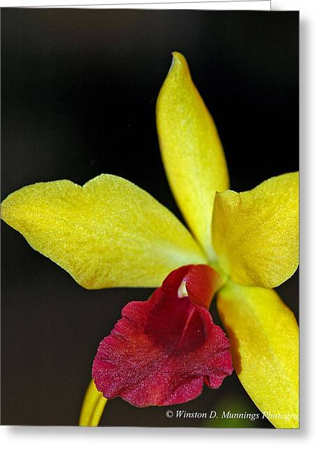 Cattleya Greeting Cards - The Corsage Orchid - Cattleya Greeting Card by Winston D Munnings