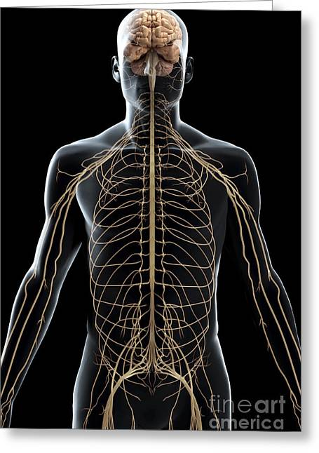 Sciatic Nerves Greeting Cards - The Nerves Of The Upper Body Greeting Card by Science Picture Co