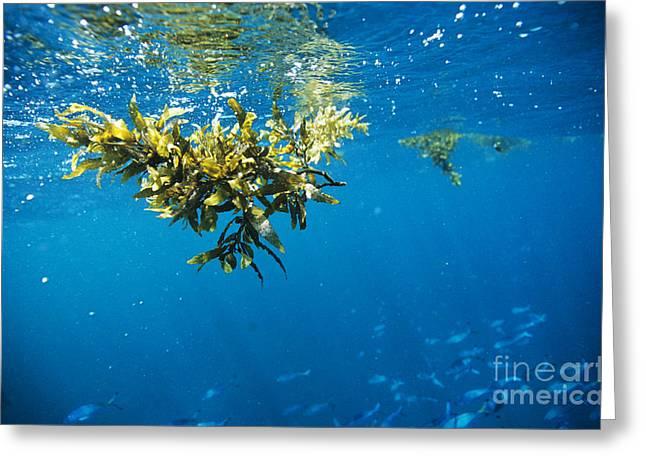 Ocean Landscape Greeting Cards - Tropical Seaweed Greeting Card by Alexis Rosenfeld