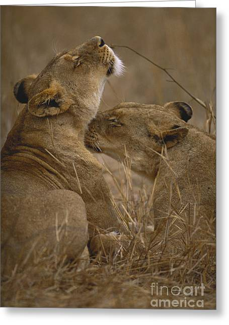 Two Lions Greeting Card by Art Wolfe