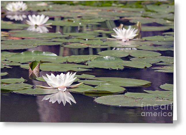 Amazonian Waterlilies Greeting Cards - Water lily Greeting Card by Odon Czintos