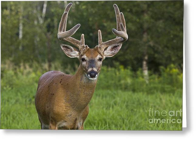 Mating Season Greeting Cards - White-tailed Buck In Velvet Greeting Card by Linda Freshwaters Arndt