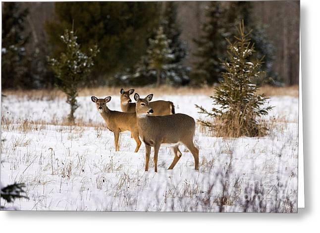 Animalia Greeting Cards - White-tailed Deer Odocoileus Virginianus Greeting Card by Linda Freshwaters Arndt