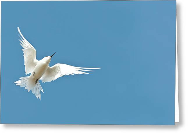 White Tern (gygis Alba Rothschildi Greeting Card by Daisy Gilardini