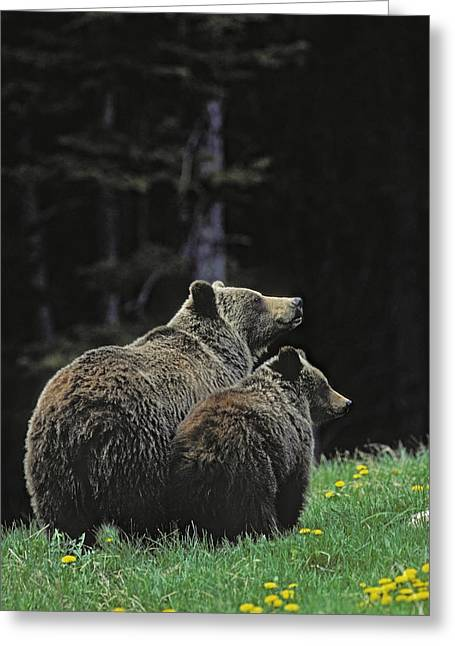 Rearview Greeting Cards - 60402, Grizzly Bear And Cub Greeting Card by First Light