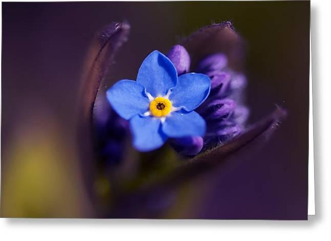 Macro Micro Greeting Cards - Forget-Me-Not - Myosotis - VanDusen Botanical Garden Greeting Card by May L