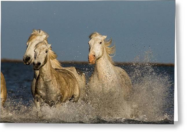 Galop Greeting Cards - White Horses Greeting Card by Egija Labanovska