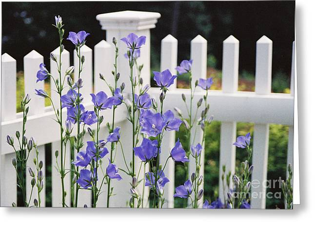 Balloon Flower Greeting Cards - #665 11 Fenced In Greeting Card by Robin Lee Mccarthy Photography