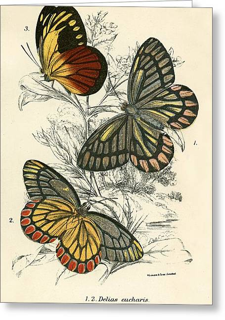 Insect Greeting Cards - Butterflies Greeting Card by English School
