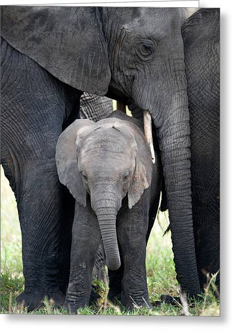 Tusk Greeting Cards - African Elephant Loxodonta Africana Greeting Card by Panoramic Images