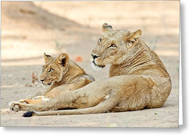 Zimbabwe Greeting Cards - African lions Greeting Card by Science Photo Library