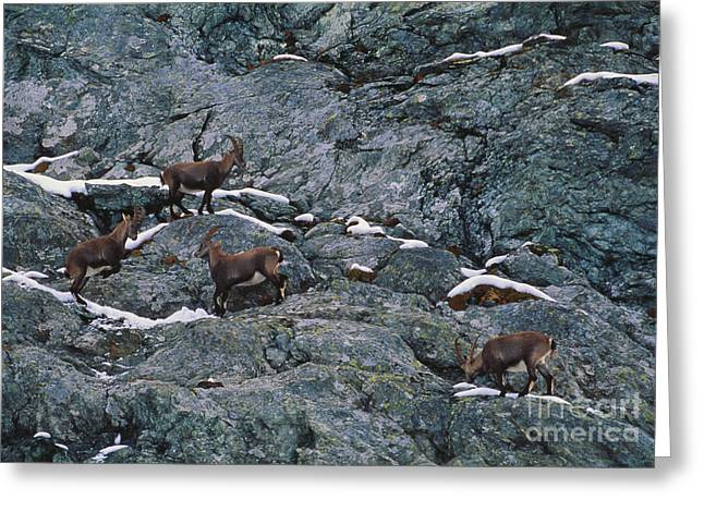 Rearing Up Greeting Cards - Alpine Ibex Greeting Card by Art Wolfe