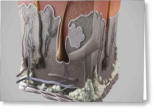 Sweat Greeting Cards - Anatomy Of Human Skin Greeting Card by Science Picture Co
