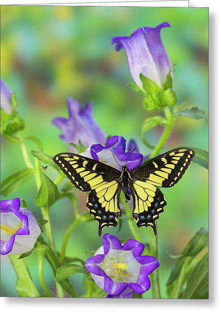 Anise Swallowtail Butterfly, Papilio Greeting Card by Darrell Gulin