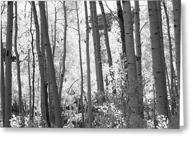 Aspens In Autumn Leaves Greeting Cards - Aspen Trees In Autumn, Colorado, Usa Greeting Card by Panoramic Images