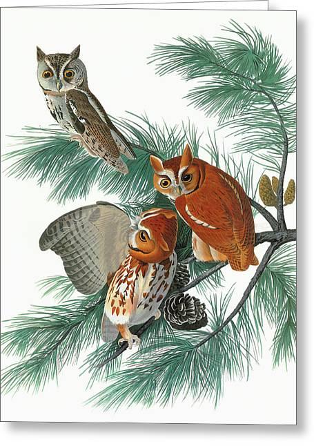 Audubon Owl Greeting Card by Granger
