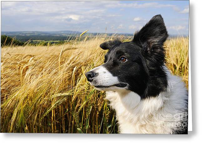 Ears Up Greeting Cards - Border Collie Greeting Card by John Daniels