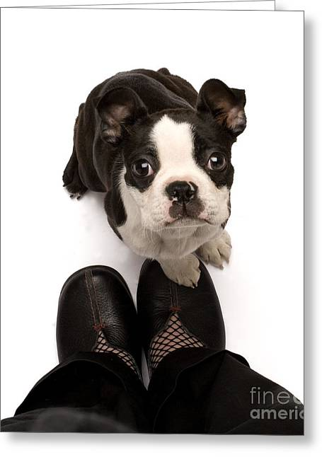 Good Dog Greeting Cards - Boston Terrier Greeting Card by Jean-Michel Labat