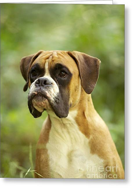 Grumpy Face Greeting Cards - Boxer Dog Greeting Card by Jean-Michel Labat