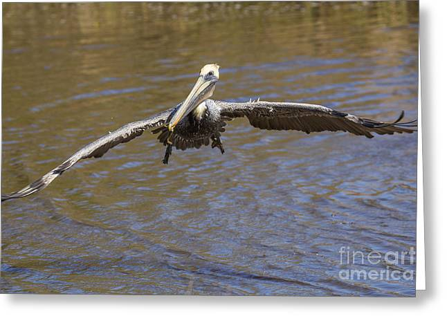 Brown Pelican Greeting Card by Twenty Two North Photography