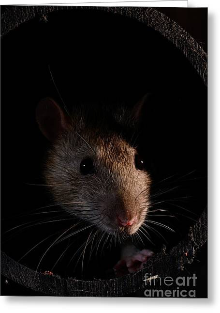 Drain Greeting Cards - Brown Rat Greeting Card by Scott Linstead