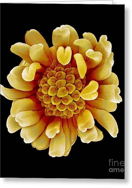 Stigma Greeting Cards - SEM of Buttercup Flower Greeting Card by Susumu Nishinaga