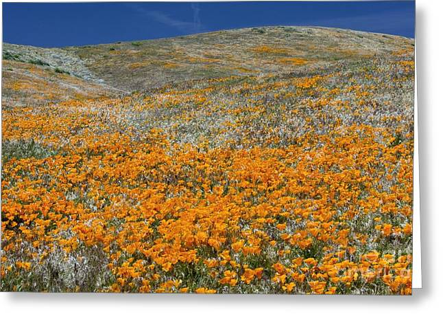 Californian Greeting Cards - Californian Poppies Eschscholzia Greeting Card by Bob Gibbons