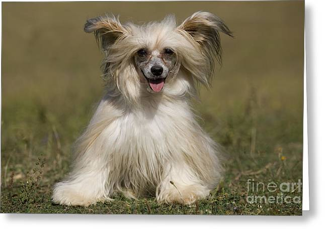 Toy Dog Greeting Cards - Chinese Crested Dog Greeting Card by Jean-Michel Labat