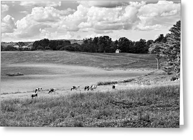 Maine Agriculture Digital Art Greeting Cards - Cows Grazing On Grass In Farm Field Summer Maine Greeting Card by Keith Webber Jr
