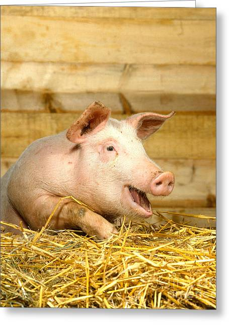 Pig Photographs Greeting Cards - A Domestic Pig Greeting Card by Hans Reinhard