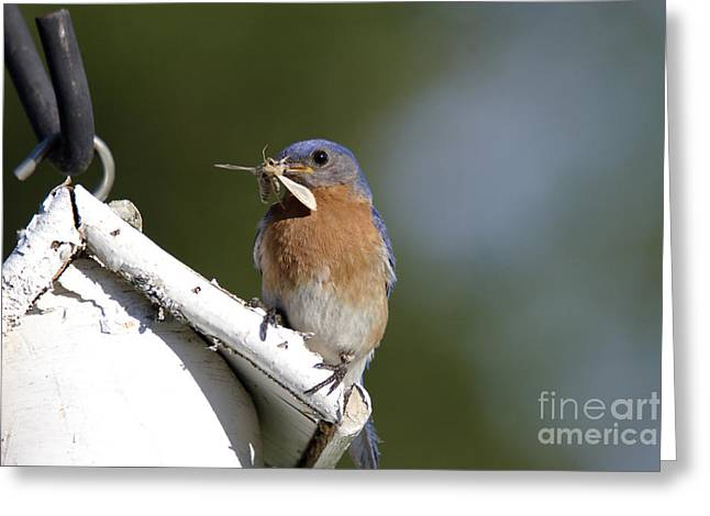 Feeding Young Greeting Cards - Eastern Bluebird Greeting Card by Linda Freshwaters Arndt