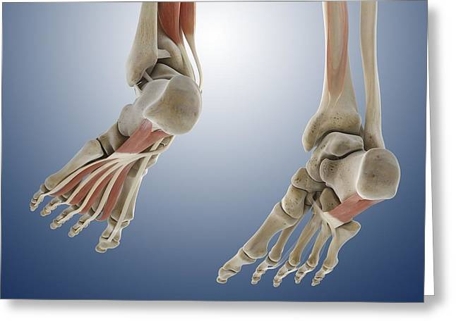 Flexor Digitorum Greeting Cards - Foot muscles, artwork Greeting Card by Science Photo Library