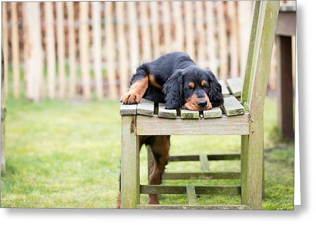 Gordon Setter Puppy Greeting Cards - Gordon setter puppy dog Greeting Card by Rob Van Esch
