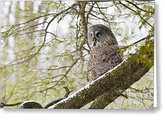 Bird Pictures Greeting Cards - Great Gray Owl Greeting Card by Michael Cummings