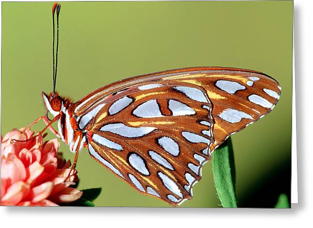 Duval County Greeting Cards - Gulf Fritillary Butterfly Greeting Card by Millard H Sharp
