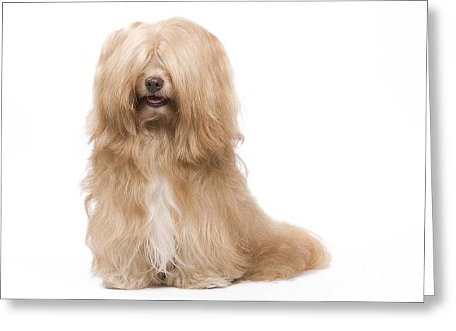 Cute Havanese Greeting Cards - Havanese Dog Greeting Card by Jean-Michel Labat
