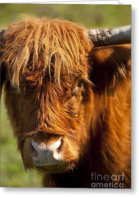 Franklin Tennessee Greeting Cards - Highland Cow Greeting Card by Brian Jannsen