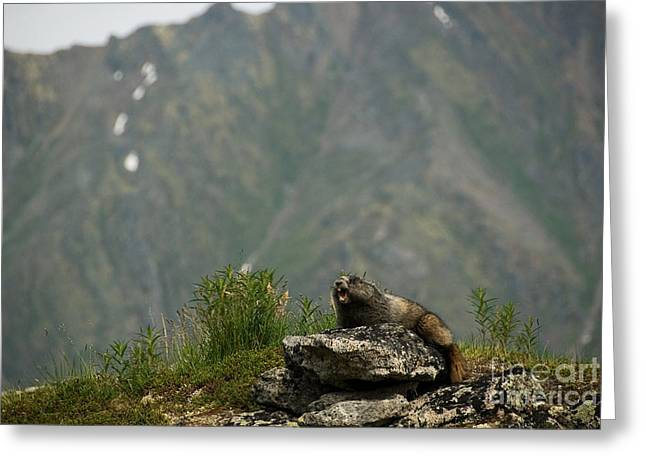 Hoary Marmot Greeting Card by Mark Newman